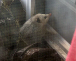 opossum at door