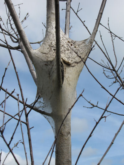 tent caterpillar web